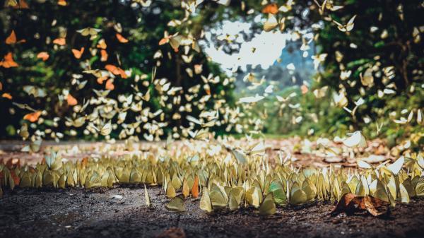 Cảnh tượng khó gặp: Hàng trăm loài bướm kéo nhau về khoe sắc ở vườn quốc gia Cúc Phương