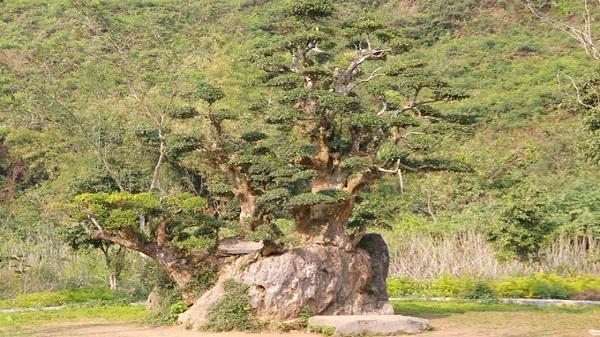 Cây duối lâu năm có 5 nhánh độc đáo ở Ninh Bình