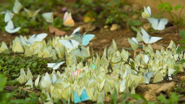 Đẹp 'quên lối về' mùa bướm bay rợp trời ở Cúc Phương, Ninh Bình