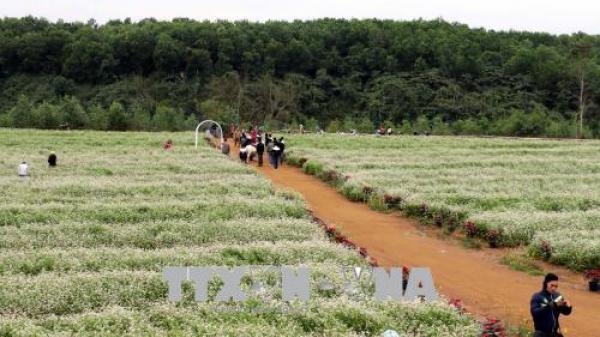 Ngay gần Ninh Bình có môt cánh đồng hoa tam giác mạch nở đúng dịp lễ 30/4-1/5