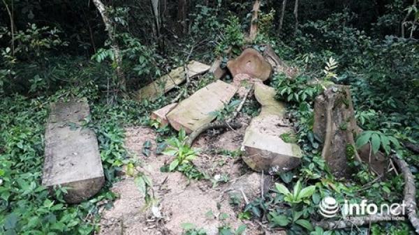 """Vườn Quốc gia Cúc Phương tiếp tục bị """"xẻ thịt"""", cây cổ thụ nằm la liệt"""