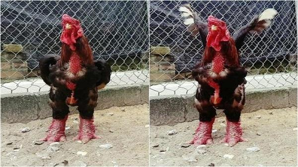 """Ngưỡng mộ những """"ông vua gà"""": """"Hốt"""" bạc tỷ từ nuôi con đặc sản """"chân to"""""""