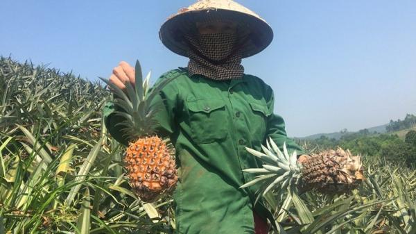 Dứa Việt 2.000 đồng/kg bỏ thối đầy đồng, nhà giàu ăn dứa ngoại 300 ngàn/quả
