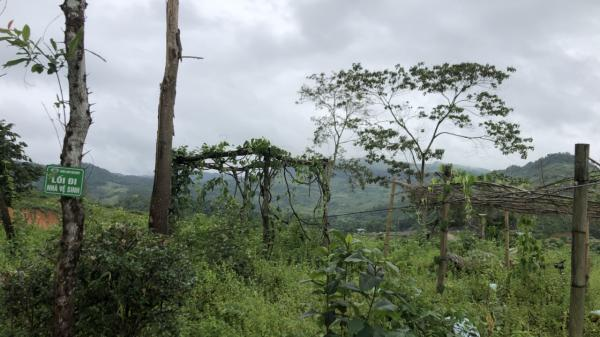 8ha rừng trẩu trên địa bàn xã Thanh Minh, TP Điện Biên Phủ có bị chặt phá?