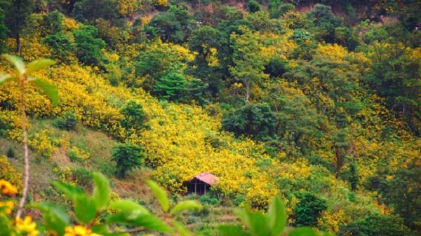 Video: Ngây ngất với thảm hoa dã quỳ vàng rực núi đồi Điện Biên