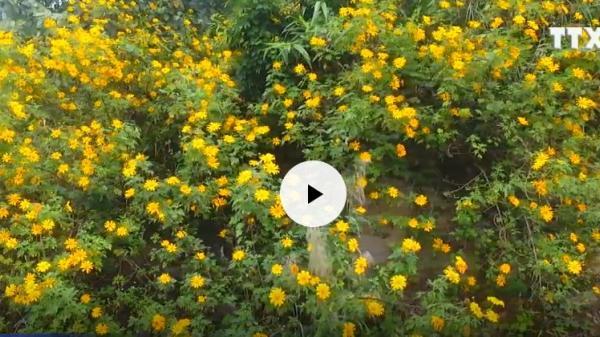 Ngây ngất với thảm hoa dã quỳ vàng rực núi đồi ở phía Tây Nam tỉnh Yên Bái