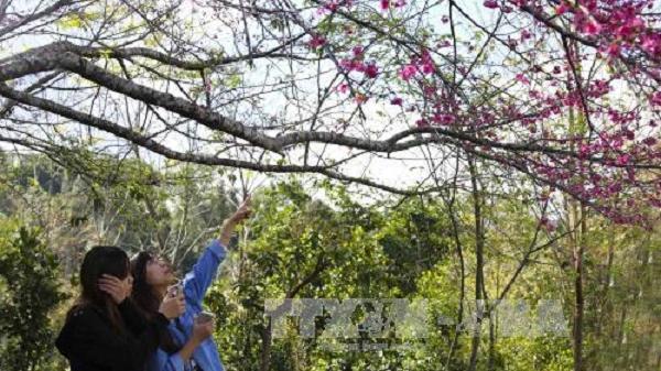 Sự kiện  Hoa anh đào - Pá Khoang - Điện Biên sẽ diễn ra vào tháng 1/2019