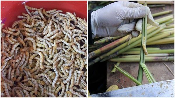 """Săn lùng loại """"thần dược"""" ở Điện Biên được ví như đông trùng hạ thảo, giá 4 triệu đồng/kg"""