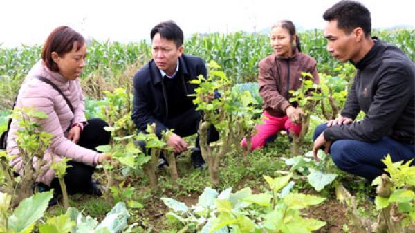Lần đầu tiên Yên Bái bổ sung chính sách hỗ trợ trồng dâu, nuôi tằm