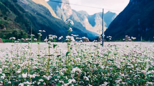 Chiêm ngưỡng cánh đồng hoa Tam giác mạch đẹp mong manh ở Tràng An, Ninh Bình