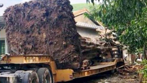"""CSGT chặn xe đầu kéo chở """"quái thú"""" từ Đắk Lắk ra chùa ở Ninh Bình"""