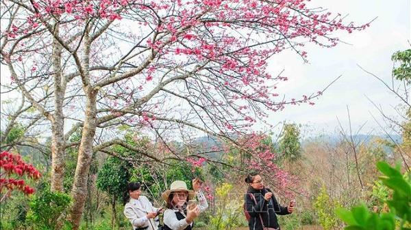 Hoa Anh Đào - Pá Khoang Điện Biên 2019 thu hút hàng nghìn du khách