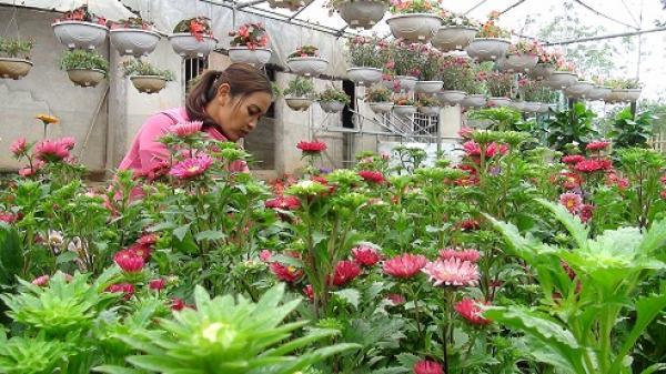 Huyện Lục Yên (Yên Bái): Nhà vườn tích cực chăm sóc hoa phục vụ Tết