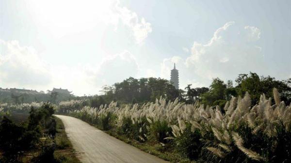 Ninh Bình: Xao xuyến mùa lau nở nắng đường đến Bái Đính