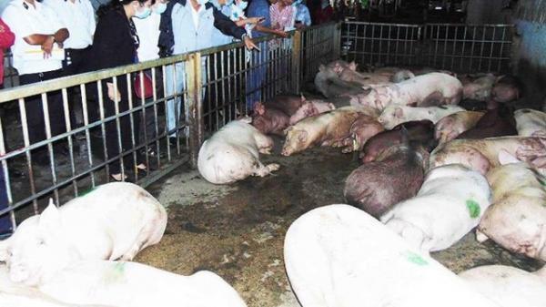 CẢNH BÁO: Xuất hiện bệnh d.ịch tả lợn châu Phi tại Hải Dương
