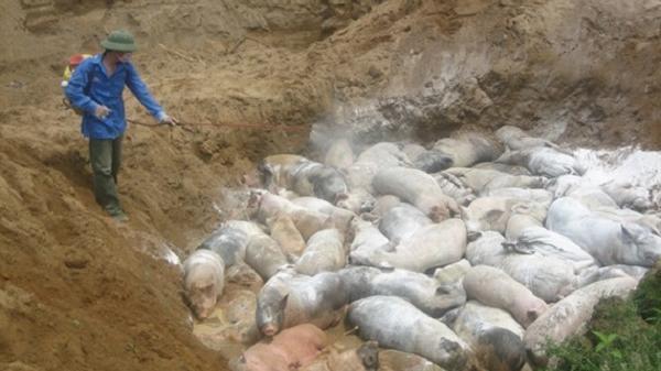 CẢNH BÁO: Dịch tả lợn Châu Phi xuất hiện tại Điện Biên