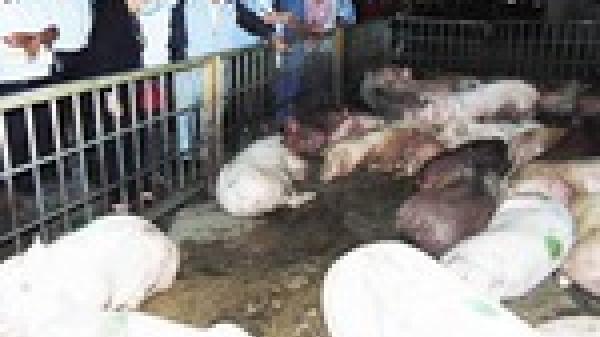 Hình ảnh tan hoang từ ổ bệnh d.ịch tả lợn châu Phi ở Hải Dương sau gần 1 tuần