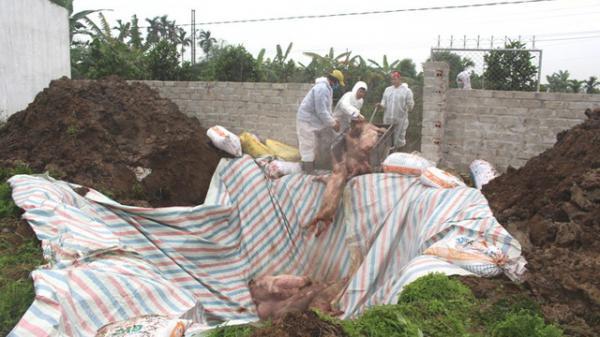 CẢNH BÁO: Bệnh d.ịch tả lợn châu Phi tiếp tục xuất hiện tại huyện Ninh Giang, Hải Dương