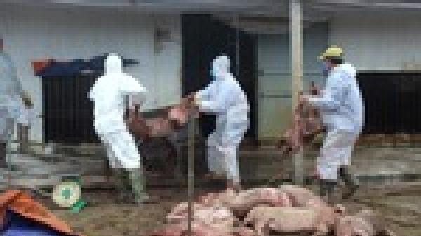 Hải Dương: Thêm 3 xã của huyện Ninh Giang tiếp tục xuất hiện bệnh d.ịch tả lợn châu Phi