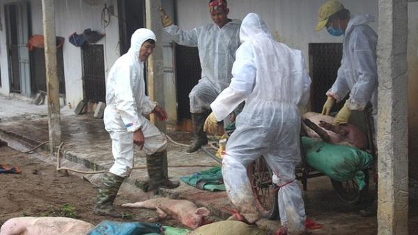 CHÚ Ý: Đến hiện tại, bệnh dịch tả lợn châu Phi đã xuất hiện tại 7 huyện của tỉnh Hải Dương