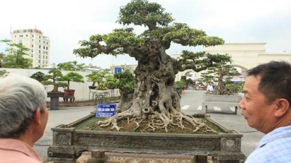 Cây sanh Tiên lão giáng trần mua ở vùng Phát Diệm (Ninh Bình) đã được bán lại với giá 16 tỷ đồng gây sốc