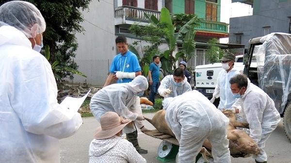 Hải Dương: D ịch tả lợn Châu Phi đã bùng phát ra 9/12 huyện, thành phố