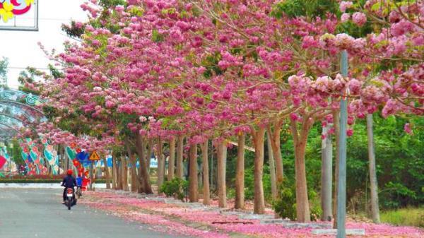 Sóc Trăng: Ngắm con đường 160 cây kèn hồng nở rực rỡ đang thu hút du khách và giới trẻ miền Tây