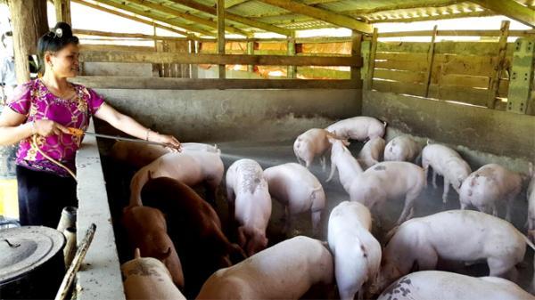 Yên Bái: Xuất hiện 2 ổ dịch tả lợn Châu Phi