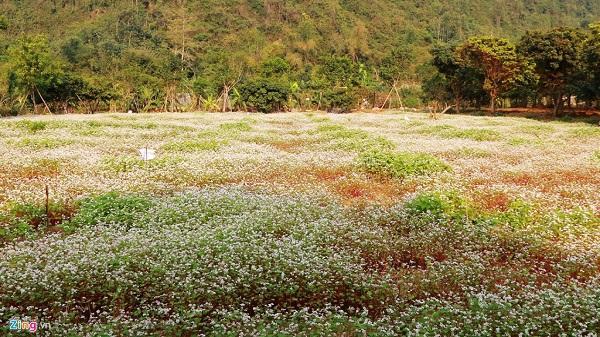 Chiêm ngưỡng vẻ đẹp của vườn hoa tam giác mạch đầu tiên ở Ninh Bình