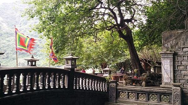 Kỳ bí cây thị thiêng nghìn năm ở Ninh Bình