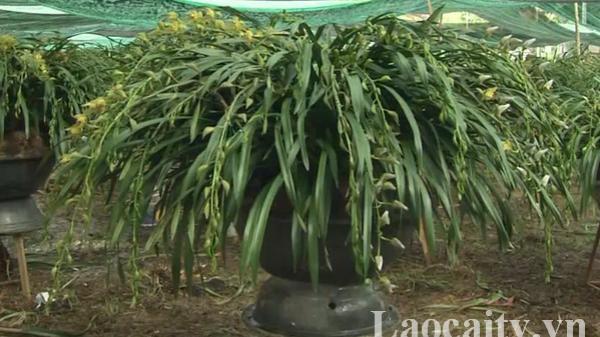 Hoa địa lan Sa Pa (Lào Cai) sẵn sàng phục vụ cho thị trường tết Nguyên đán 2020