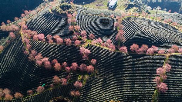 Rực rỡ mùa hoa anh đào ở Sa Pa