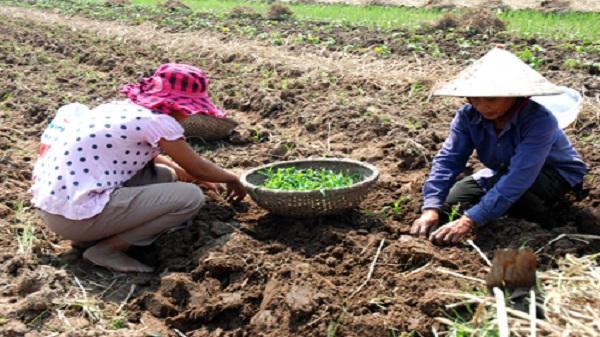 Ninh Bình: Mưa lũ đã ảnh hưởng nghiêm trọng đến sản xuất vụ đông 2017