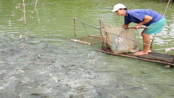 Ninh Bình: Phát triển mô hình nuôi cá lóc bông, mang lại thu nhập cao