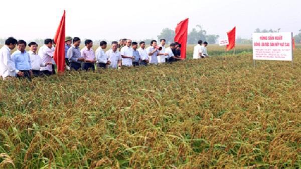 Như Hòa: Phát triển lúa đặc sản, nâng cao thu nhập cho người dân