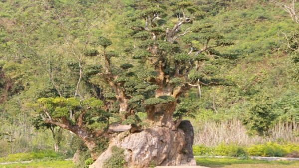 Khám phá vẻ đẹp bí ẩn của cây Duối cổ Nghìn năm tuổi tại vườn chim Thung Nham - Ninh Bình