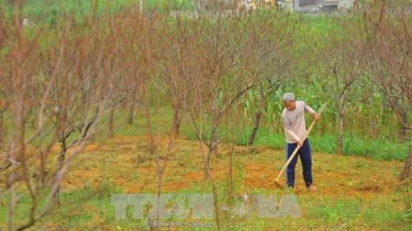 Nhiều vườn đào phai Ninh Bình chết khô sau mưa lũ, dân trồng đào lao đao