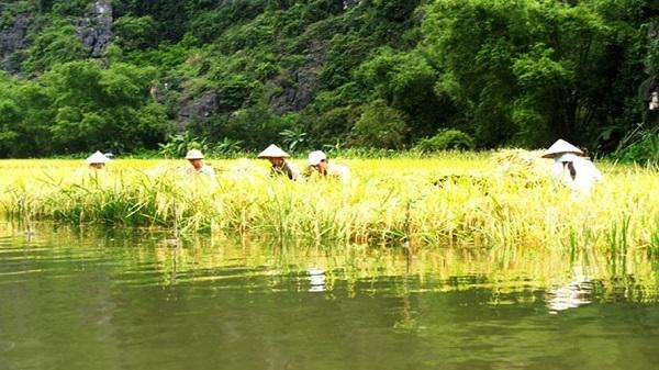 Sông Ngô Đồng đẹp bình dị vào mùa lúa chín