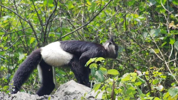 Về 'quê hương' King Kong ngắm voọc quần đùi trắng