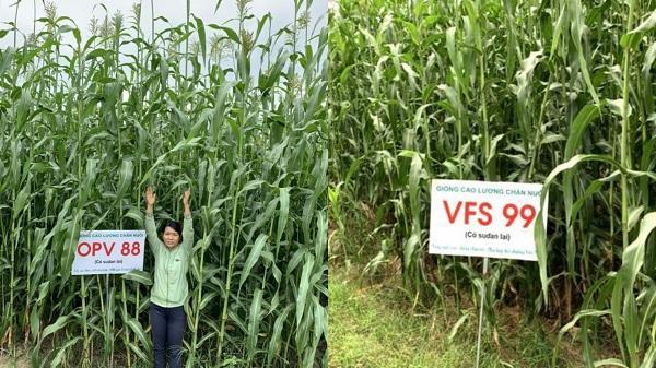 Ninh Thuận: Hai giống cao lương 'nội' chịu hạn, năng suất khủng 100 tấn/ha