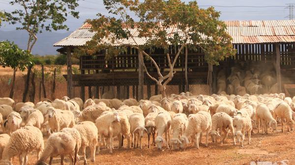 Ninh Thuận: Hấp dẫn đồng cừu An Hoà