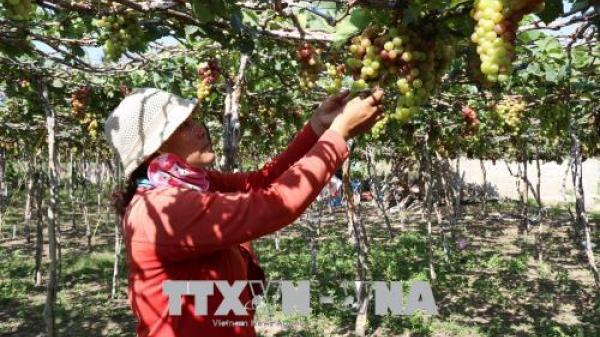 Tour du lịch vườn nho Thái An – Ninh Thuận hút khách