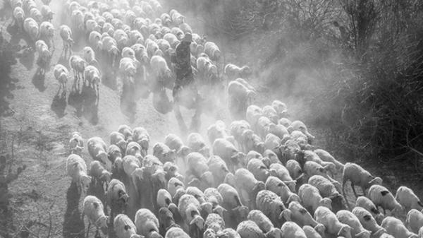 Cảnh tuyệt đẹp của đàn cừu ở Ninh Thuận trên báo Tây