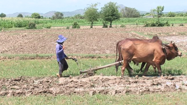 Người dân xã Phước Trung, huyện Bác Ái gặp khó khăn khi không thể xuống giống vụ Hè - Thu