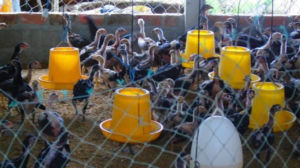 Bí quyết thành công nuôi gà nòi lai chăn thả quy mô lớn tại Ninh Thuận