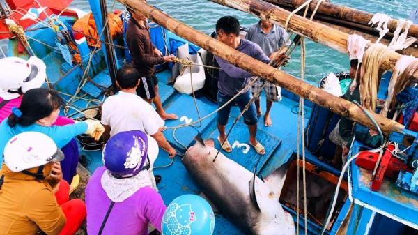 Bình Thuận: Dân thích thú với thịt cá mập giá 50 ngàn/kg