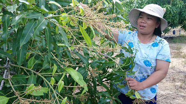 Nông dân Mũi Né khốn đốn vì xoài không đậu trái