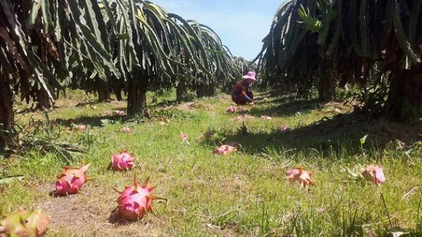 Bình Thuận: Bấp bênh thanh long truyền thống