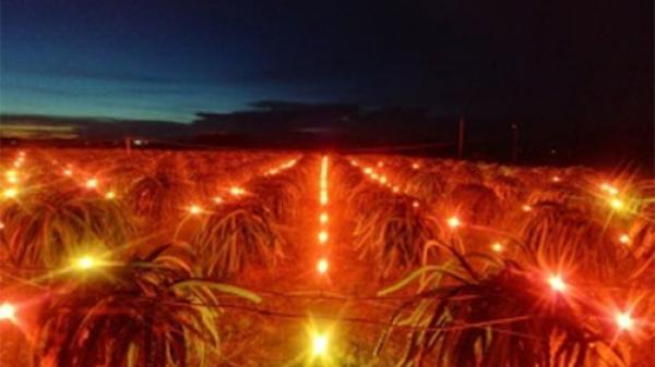 Nông dân Bình Thuận sử dụng công nghệ mới ánh sáng đỏ kích thích thanh long ra hoa trái vụ