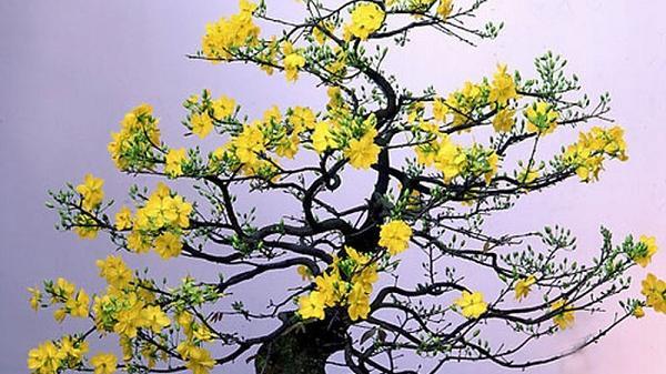 Ninh Thuận: Mai vàng, nho bonsai chuẩn bị đón Tết Nguyên đán